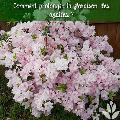 comment prolongée la floraison des azalées ?