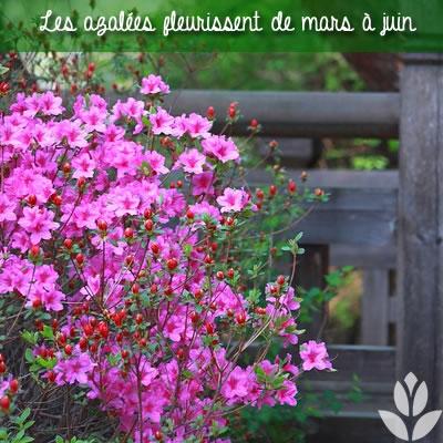 la floraison des azalées de mars à juin