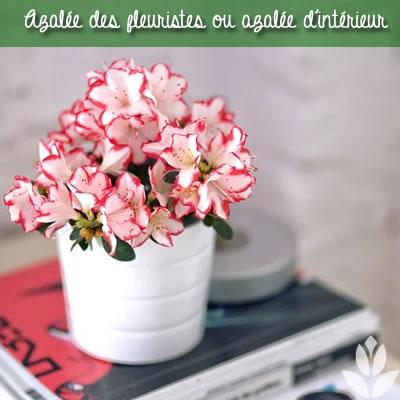 azalée des fleuriste | azalée d'intérieur