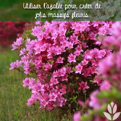 azalée dans un joli massif de fleurs
