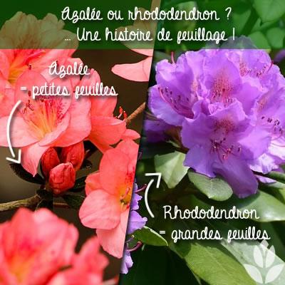 aealée ou rhododendron : des feuilles différentes