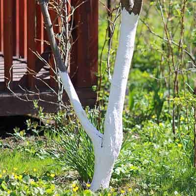 badigeon-arbre-fruitier