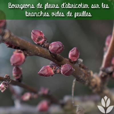 bourgeons fleurs d'abricotier