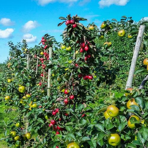 calendrier des travaux du verger fruitier