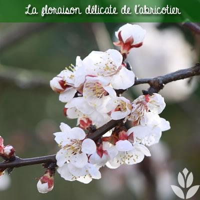 floraison de l'abricotier