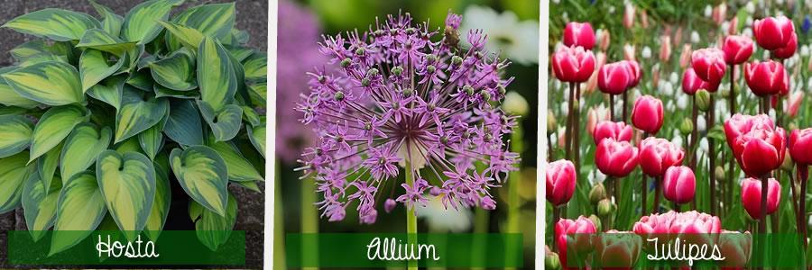hosta, allium et tulipes de la familles des liliacées