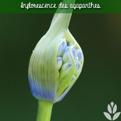 l'inflorescence des agapanthes