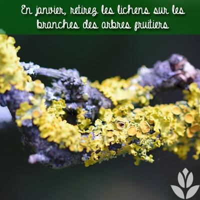retirez les lichens sur les branches des arbres fruitiers
