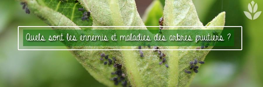 quels sont les maladies et ennemis des arbres fruitiers ?