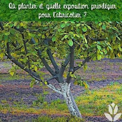 où planter un abricotier ?