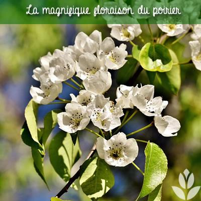 floraison du poirier