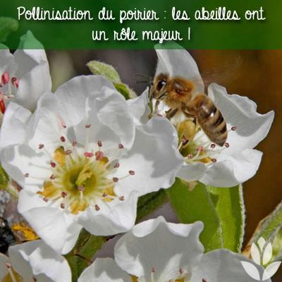 pollinisation poirier abeilles