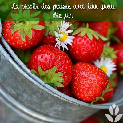 récole des fraises dès juin avec leur queue