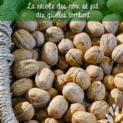 récolte des noix au sol