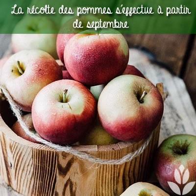 la récolte des pommes à partir de septembre