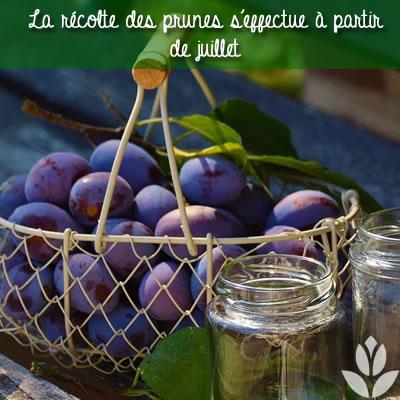 récolte des prunes à partir de juillet