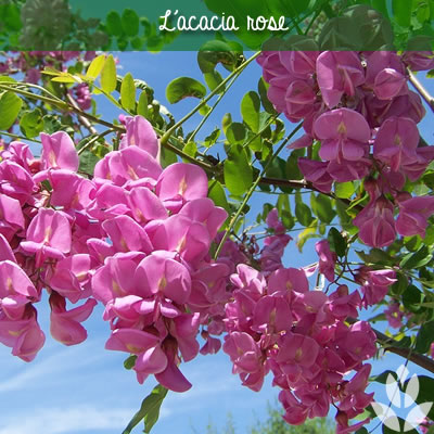 acacia rose