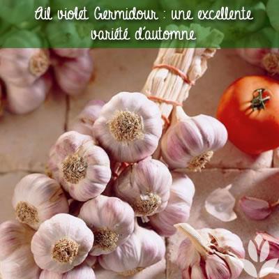 ails violet germidour d'automne