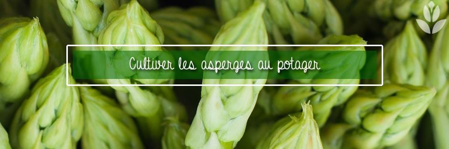 asperges du potager