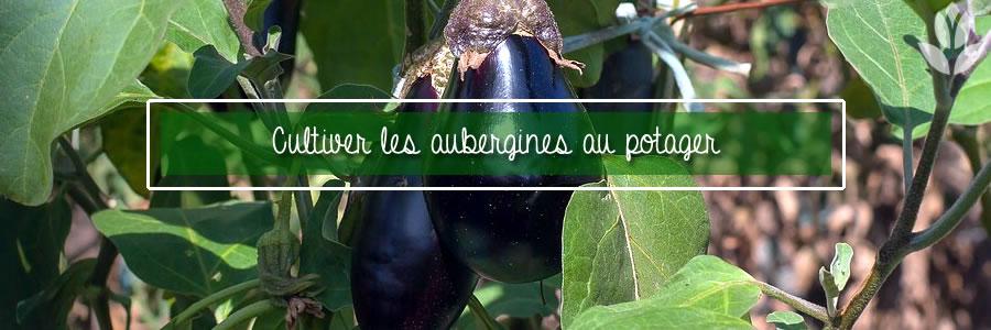 aubergines du potager