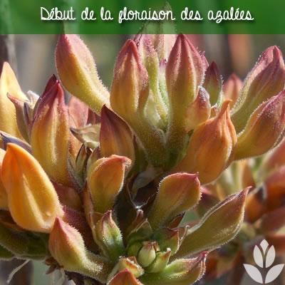 début de la floraison des azalées