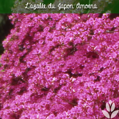 azalee du Japon amoena