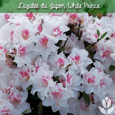 azalee_ du Japon white prince