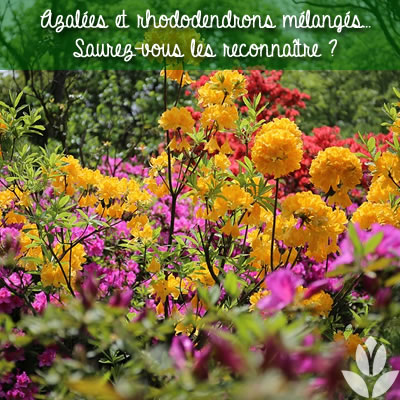 azalées_rhododendrons