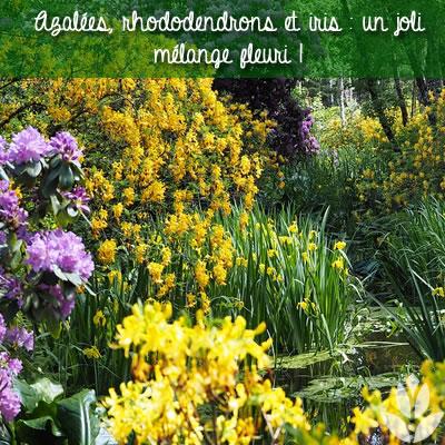 azalée rohododendron et iris