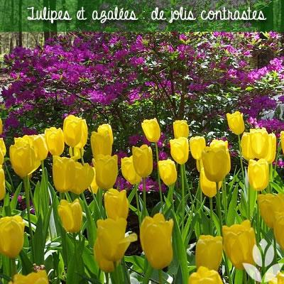 tulipes et azalées