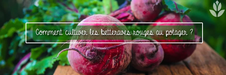 betteraves rouges potager