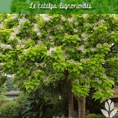 catalpa bignonioides fleurs