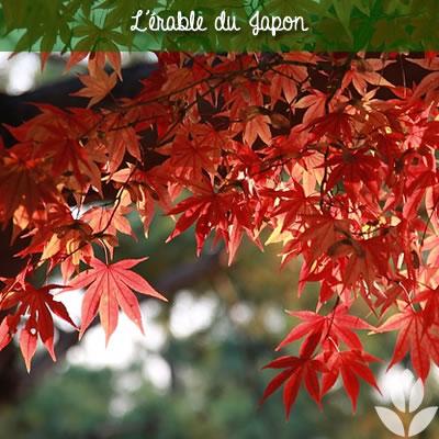feuillage de l'érable du japon