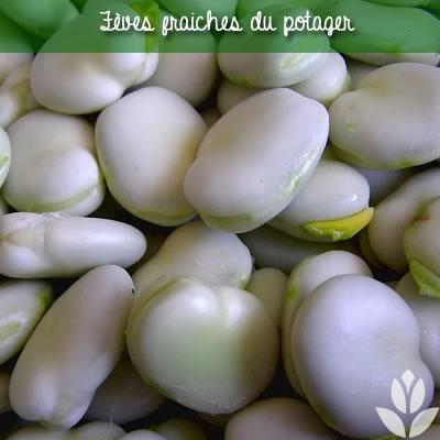 fèves fraiches du potager