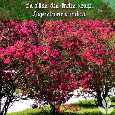 lilas des indes rouge