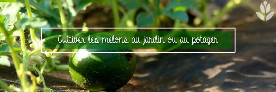 melon du potager