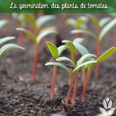 la germination des graines de tomates