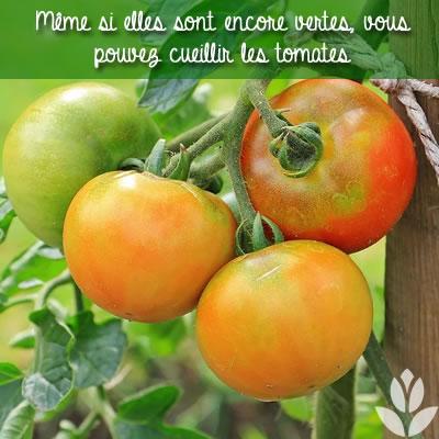 tomates non mûres