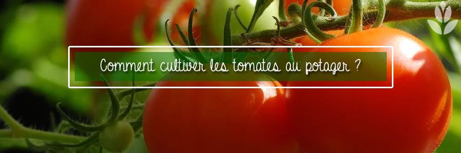 tomates potager