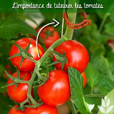 tuteur fil des tomates