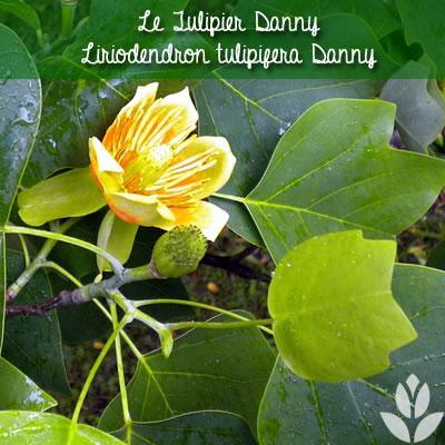 tulipier danny