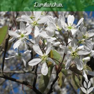 amelanchier et floraison printanière