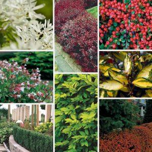 quel arbuste à feuillage persistant choisir ?
