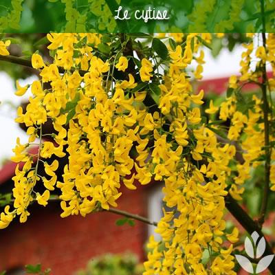 cytise à grappes de fleurs jaunes