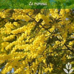 Mimoas floraison jaune