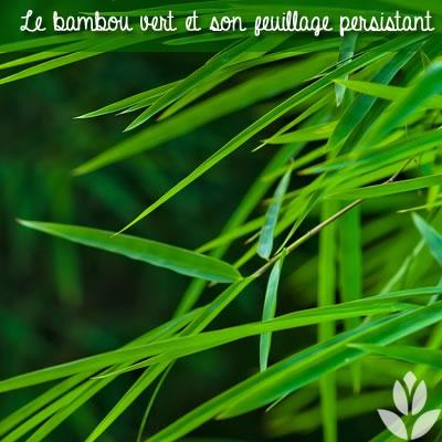 feuillage persistant du bambou vert