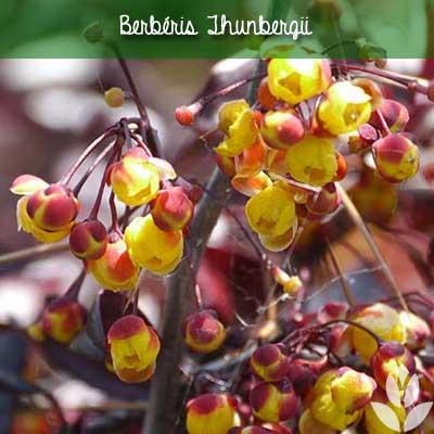 berberis thubergii