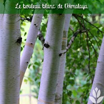 bouleau blanc himalaya