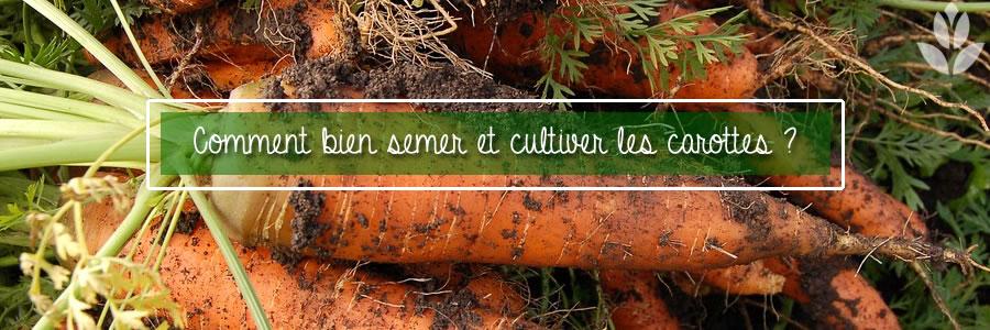 comment bien cultiver les carottes ?