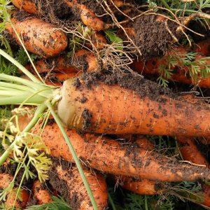 cultiver les carottes du potager